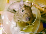 Why are Degus Great Pets?
