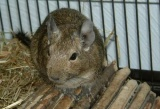 What is a Degu?