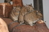 Create your own Degu Toys