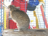 Degu World.com NEEDS YOU! Come and Contribute!