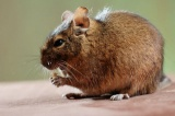 What do Degu's look like?